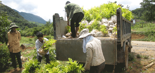 Rattan planting for livelihoods and conservation in central Vietnam