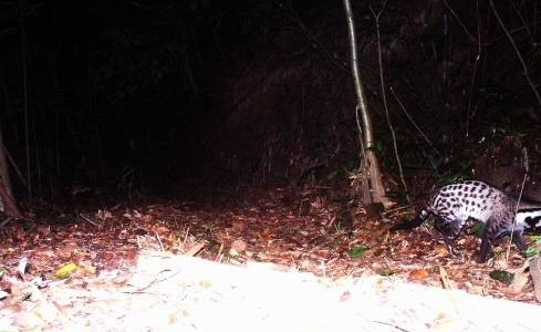 Records of two Large-spotted Civet and Owston's Civet in Phong Dien Nature Reserve, Thua Thien Hue province