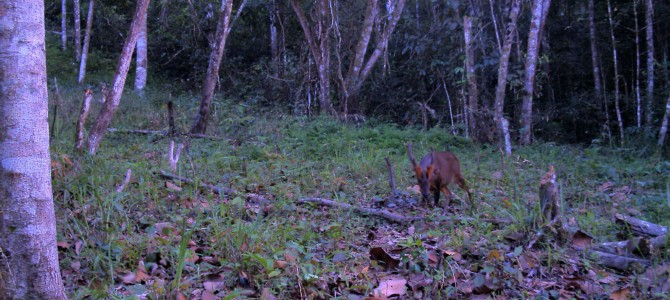Dong Chau-Khe Nuoc Trong forest – one of the last havens for the Large-antlered Muntjac Muntiacus vuquangensis?
