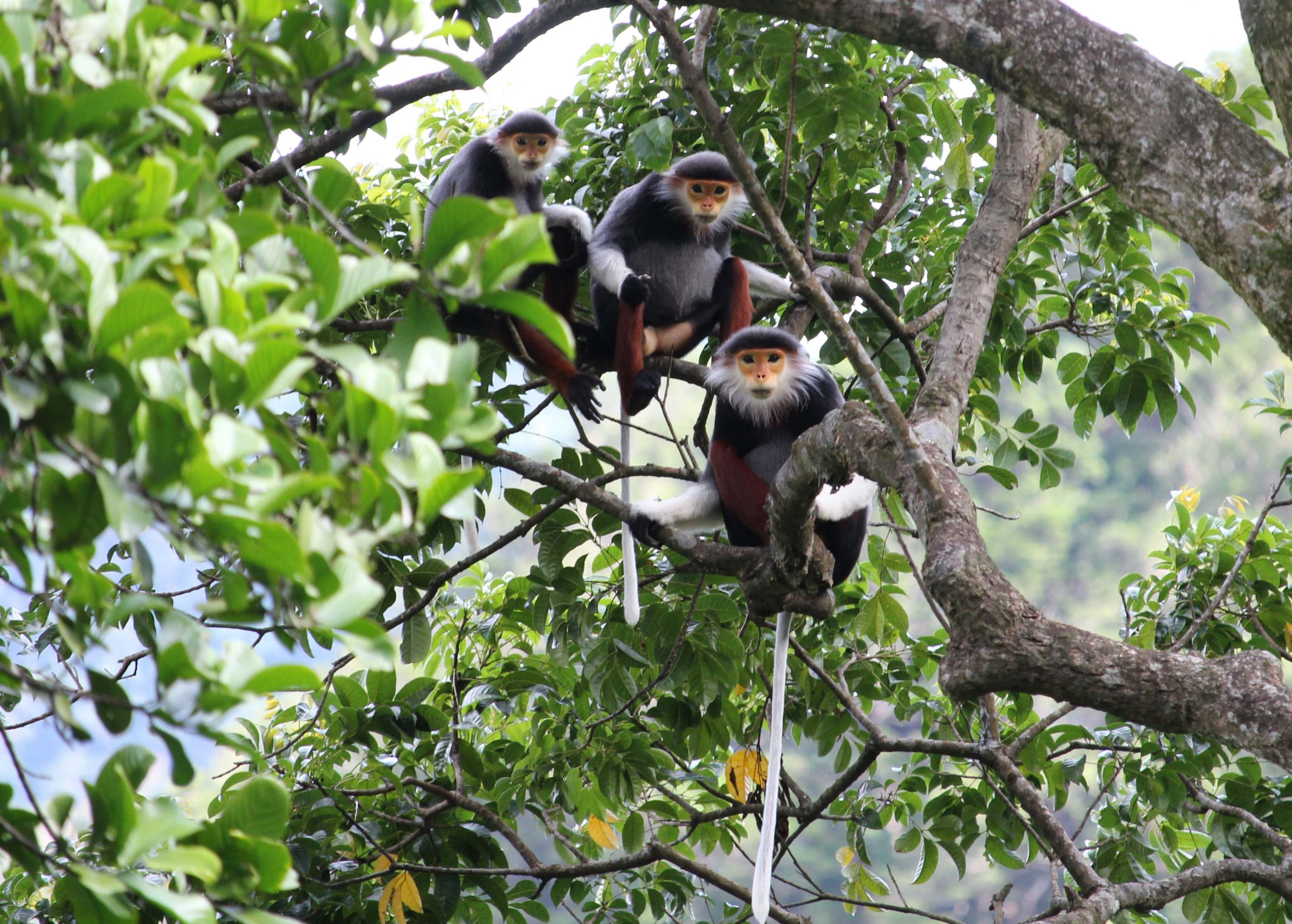 "Viet Nature organized an educational event entitled ""Exploring the Red-shanked Douc Langur"" in Dong Chau – Khe Nuoc Trong forest"